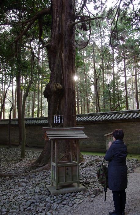 多田神社_御神木